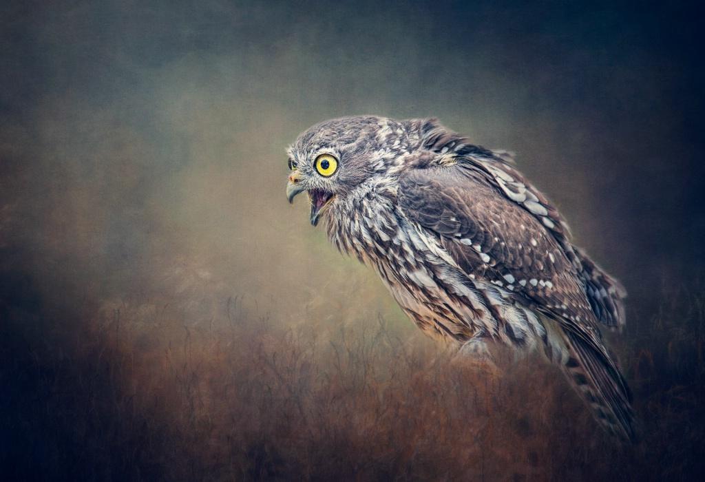 Juvenile Barking  Owl.