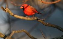 Northern Male Cardinal In The Setting Sun