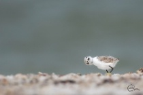 Photography Contest Grand Prize Winner - March 2018: Teany Tiny Snowy Plover Chick