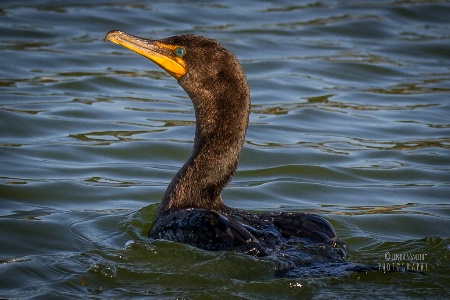 cormorant on Lake Vista
