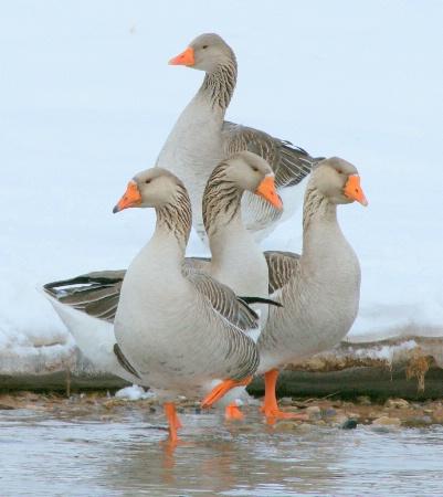 Goose buddies