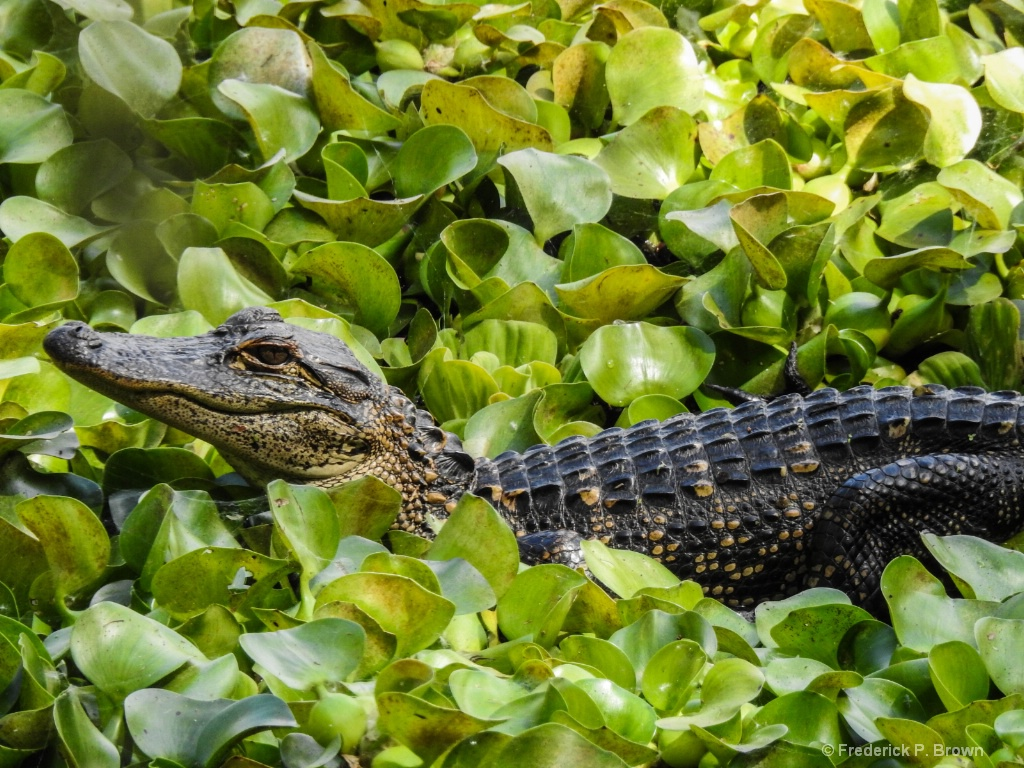 Young Alligator - ID: 15551459 © Frederick P. Brown