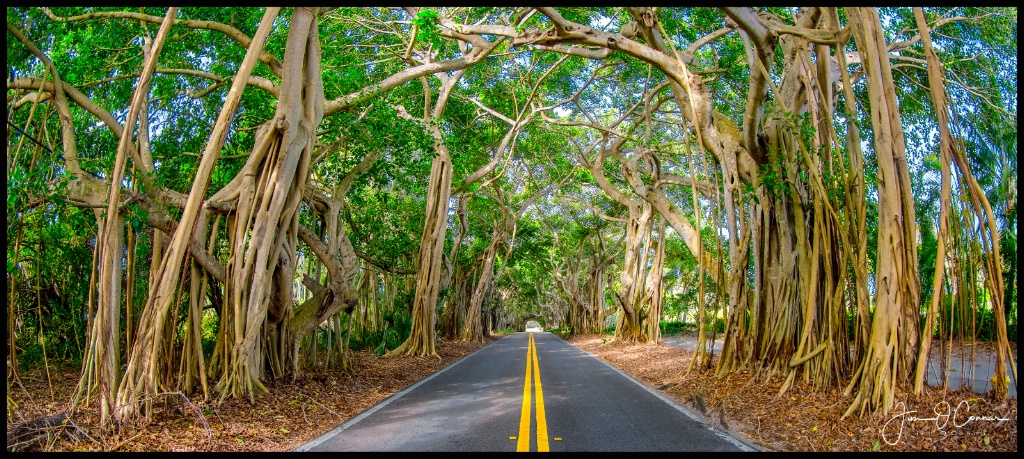 Banyan Trees - ID: 15551604 © Jim OConnor
