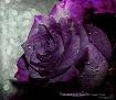 Purple Royalty