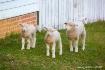 3 Little Lambs
