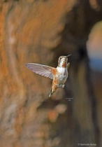 Rufous humming Bird Q31  4 2 2018