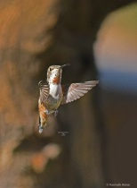 Rufous humming Bird Q32  4 2 2018