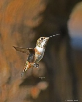Rufous humming Bird Q33  4 2 2018