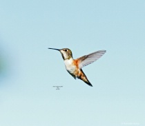 Rufous humming Bird Q39  4 2 2018