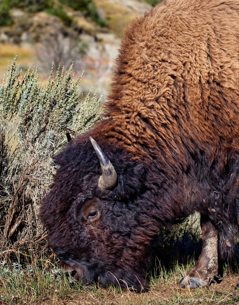 Buffalo 3 - ID: 15554199 © Roxanne M. Westman