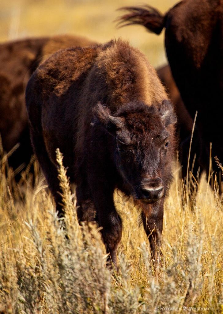 Buffalo calf - ID: 15554200 © Roxanne M. Westman