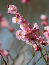 Cheerful Cherry Blossoms
