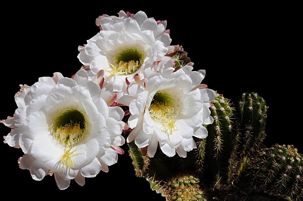 Spring Cactus Flowers - ID: 15554422 © William S. Briggs
