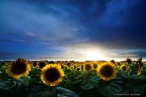 Stormy sunflowers in North Dakota