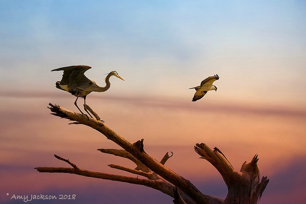 Heron and Osprey at Sunset