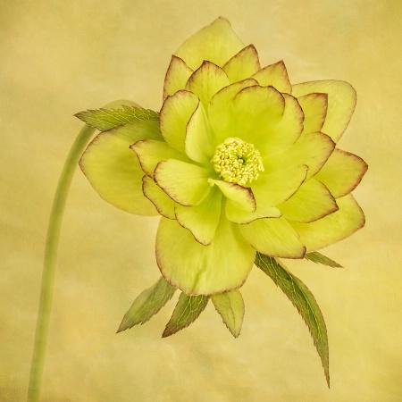 Yellow Hellebore 1