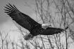 As The Eagle Soar...