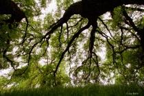 Spreading Oak