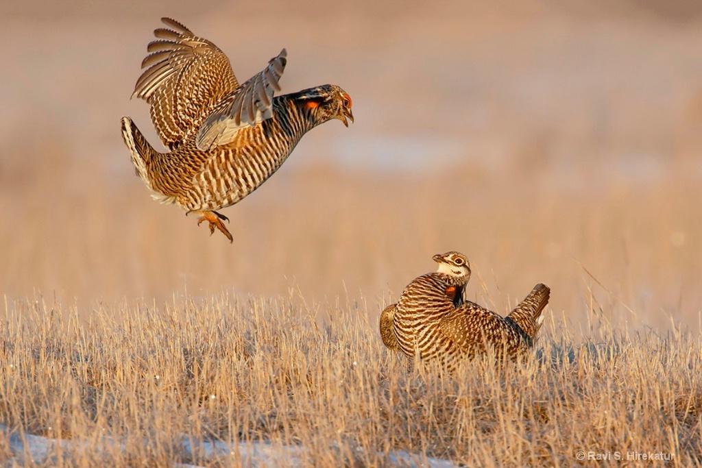Greater Prairiechicken males fighting