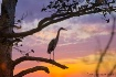 Heron In Tree at ...