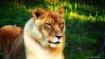 Lioness in the su...