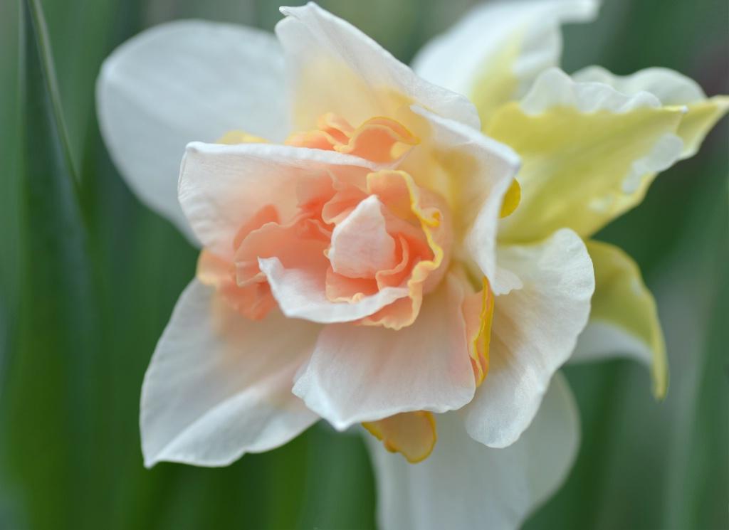 Daffodil Curves