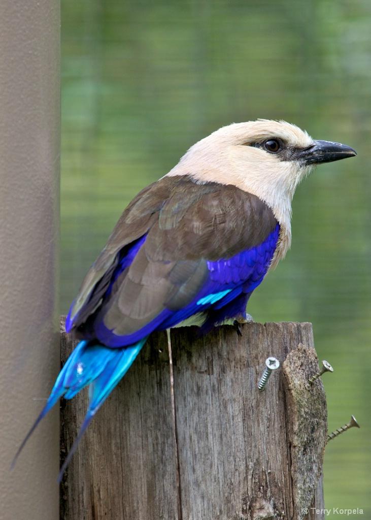 Blue-bellied Roller  - ID: 15561111 © Terry Korpela