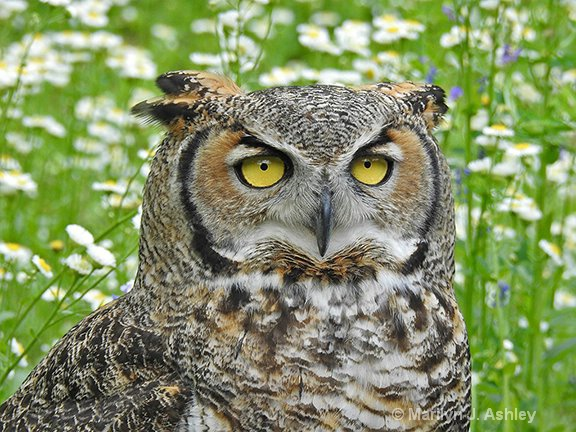Great Horned Owl - ID: 15561365 © Marilyn J. Ashley
