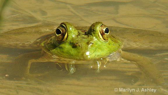 Bull Frog, Kleb Woods Wildlife Preserve - ID: 15561368 © Marilyn J. Ashley