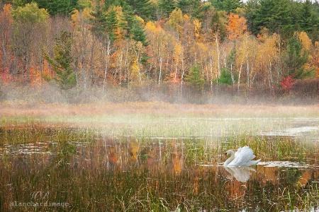 Adirondack Swan