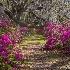 2Magnolia Gardens, Charleston - ID: 15561920 © Fran  Bastress