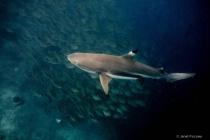 Black Tip Reef Shark With Bait