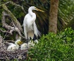 Great Heron Famil...