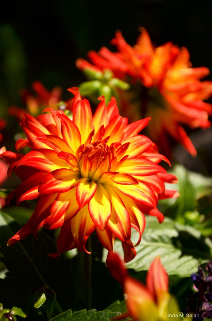 Fireworks Flower - ID: 15562272 © Linda M. Solari