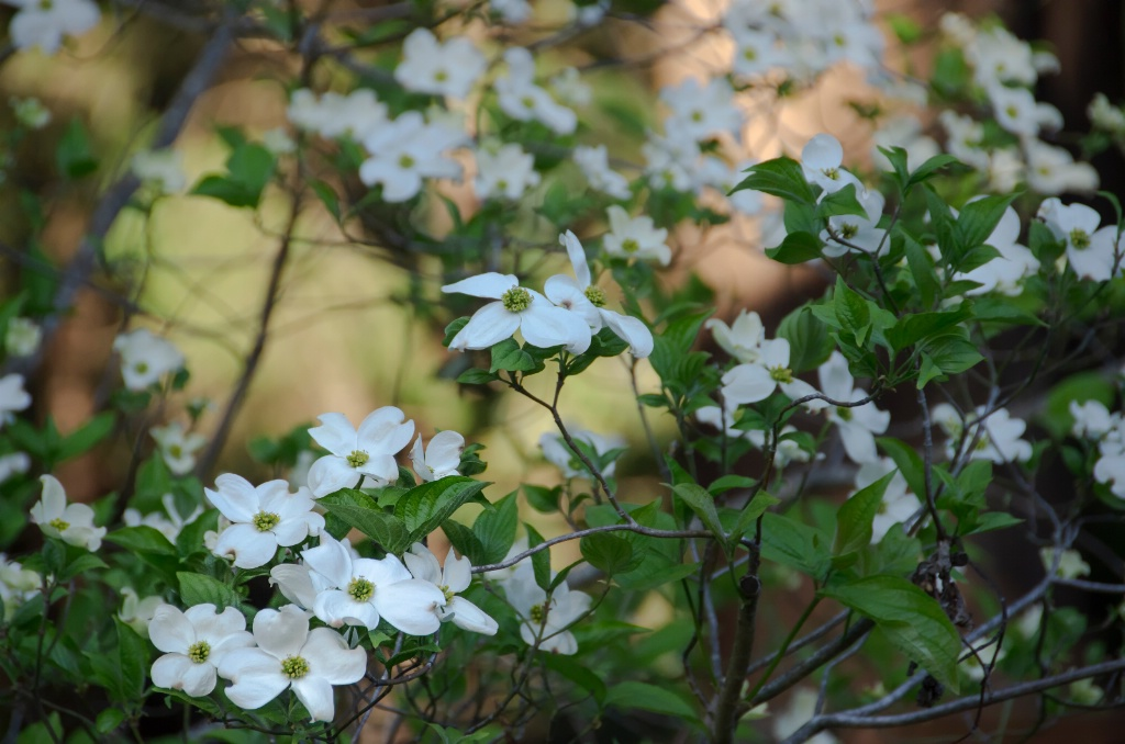 Dogwood in Redwood Forest