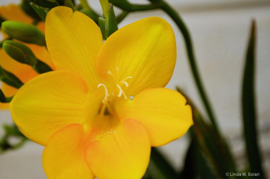 Freesia Amarillo - ID: 15562841 © Linda M. Solari