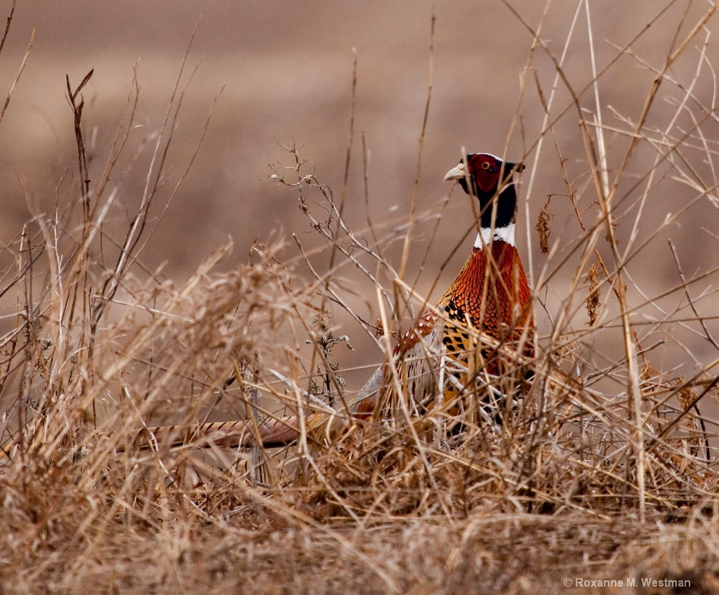 Through the brush, ring necked pheasant - ID: 15563663 © Roxanne M. Westman