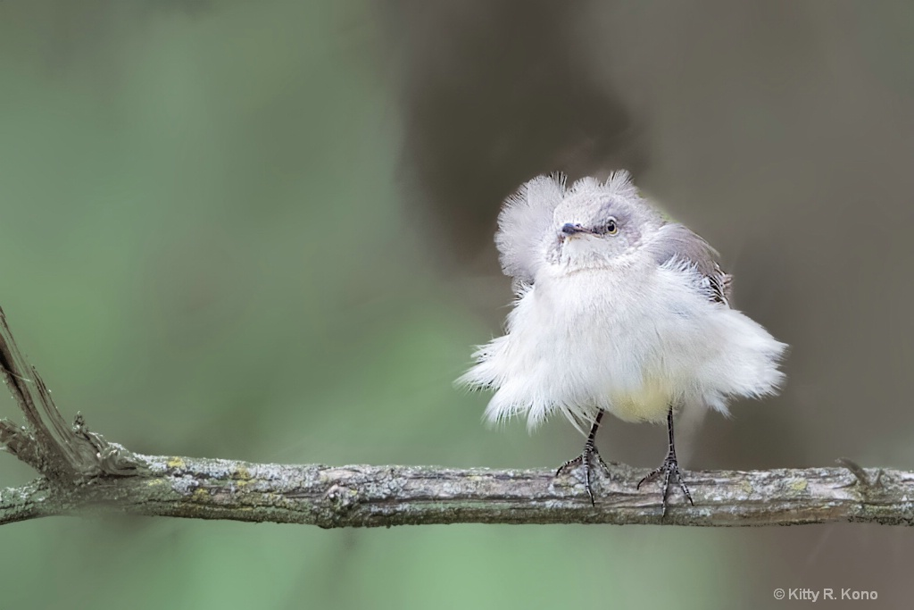 The Fluffy Mockingbird