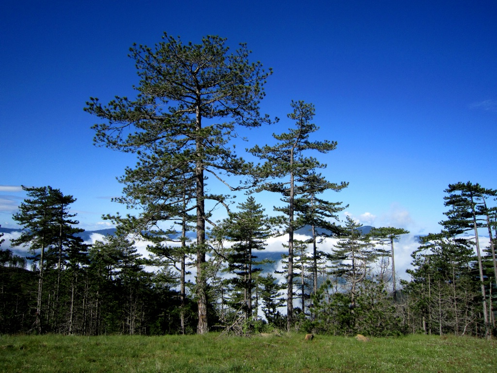 Mountain Pine Trees