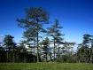 Mountain Pine Tre...