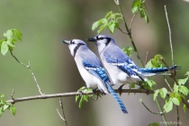 Two BlueJay Brothers with Tiger Beetle