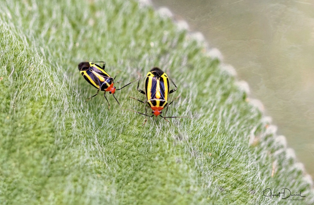 A Pair Of 4 Lined Plant Bugs