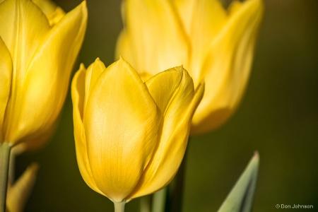 Spring Tulips 4-11-18 215