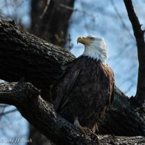 Alert Eagle