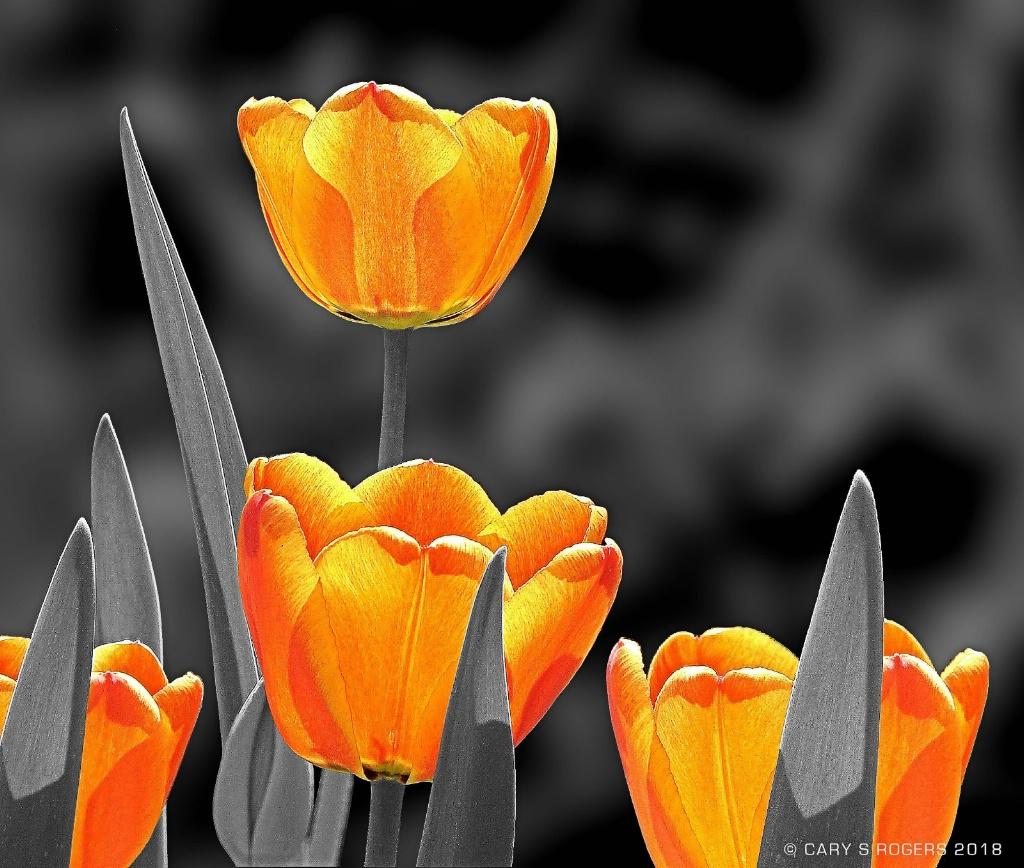A Splash of Tulips