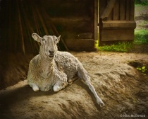 A Sheep Named Rembrandt