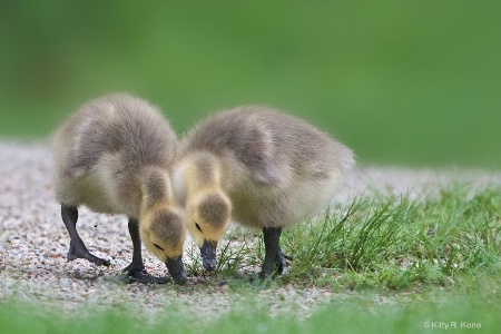 Two Baby Goslings