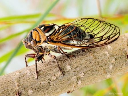 Great Western Cicada
