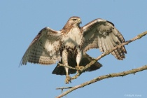 Young Red Tail Wing Spread