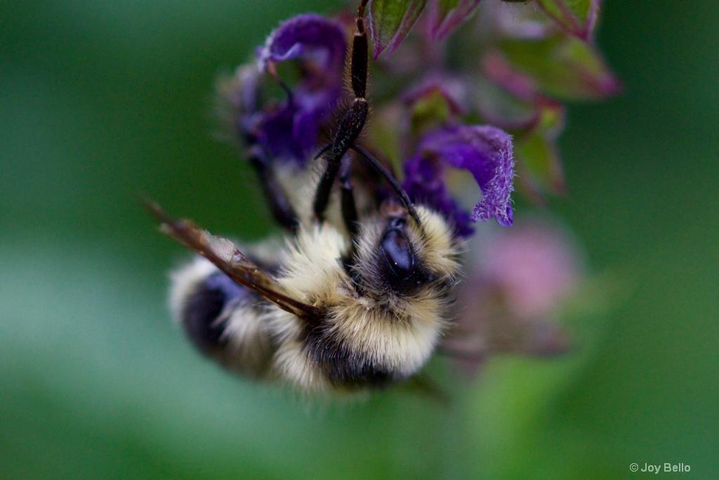 Bumblebee eye
